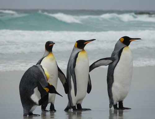 Wow! Pinguine – Falkland Inseln